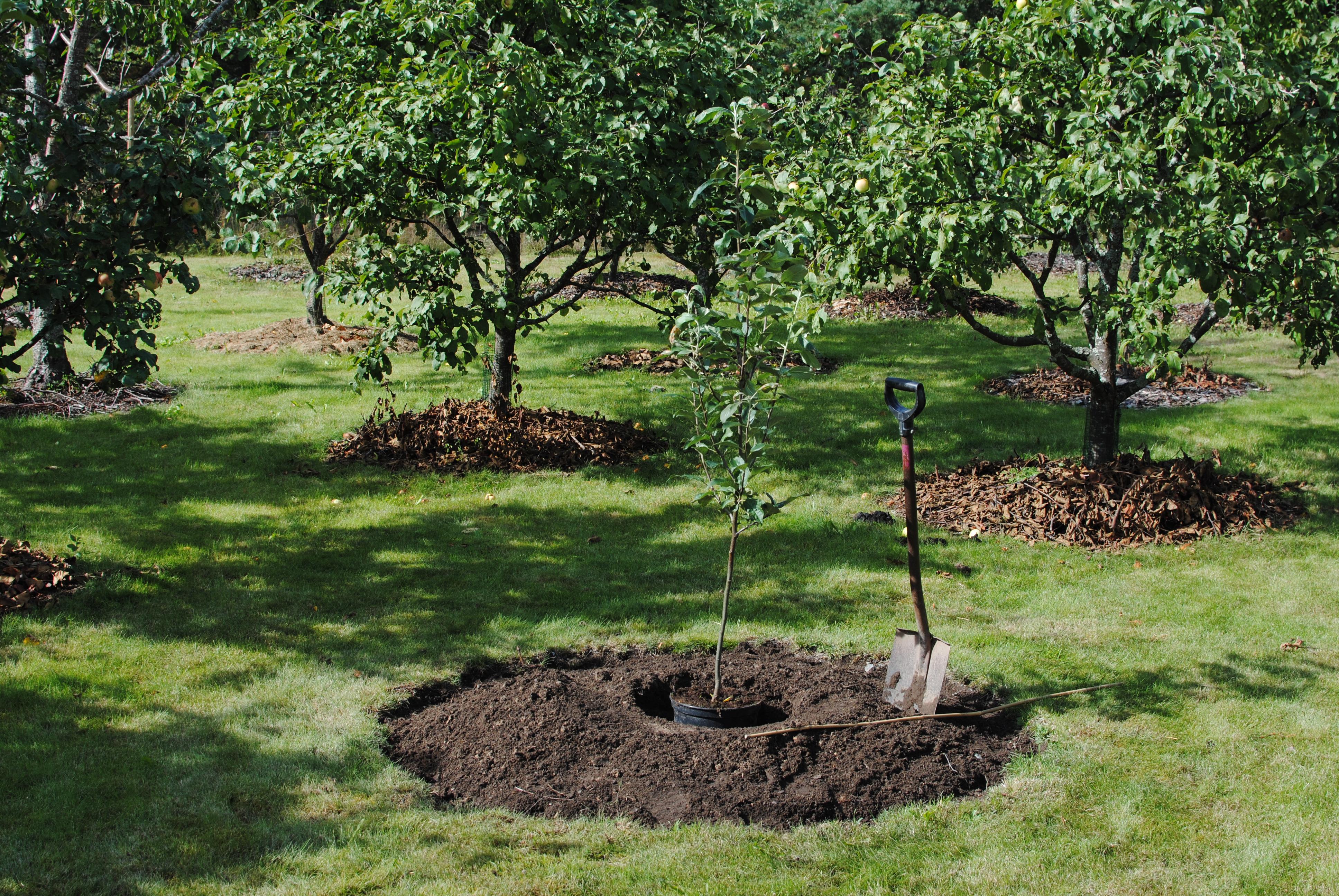 Omenapuu istutus