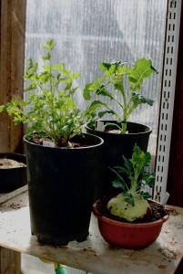 8-juuripersilja-lanttu-kyssakaali
